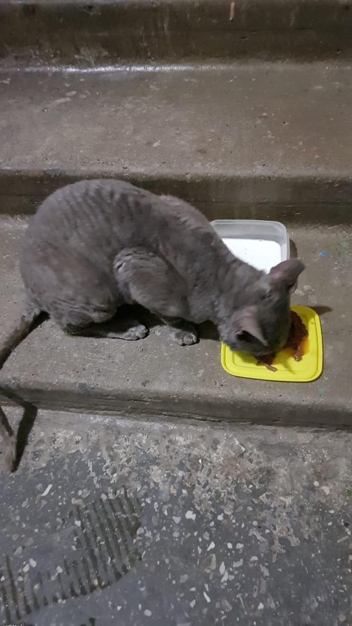Найден предположительно породистый кот. Казань