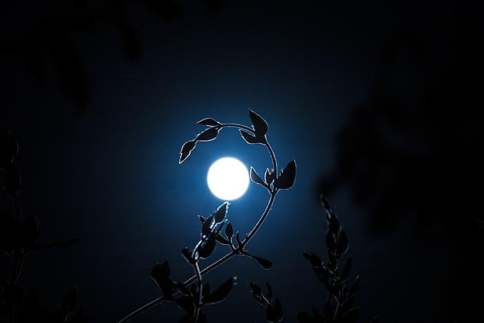 Молодая жимолость и полная луна