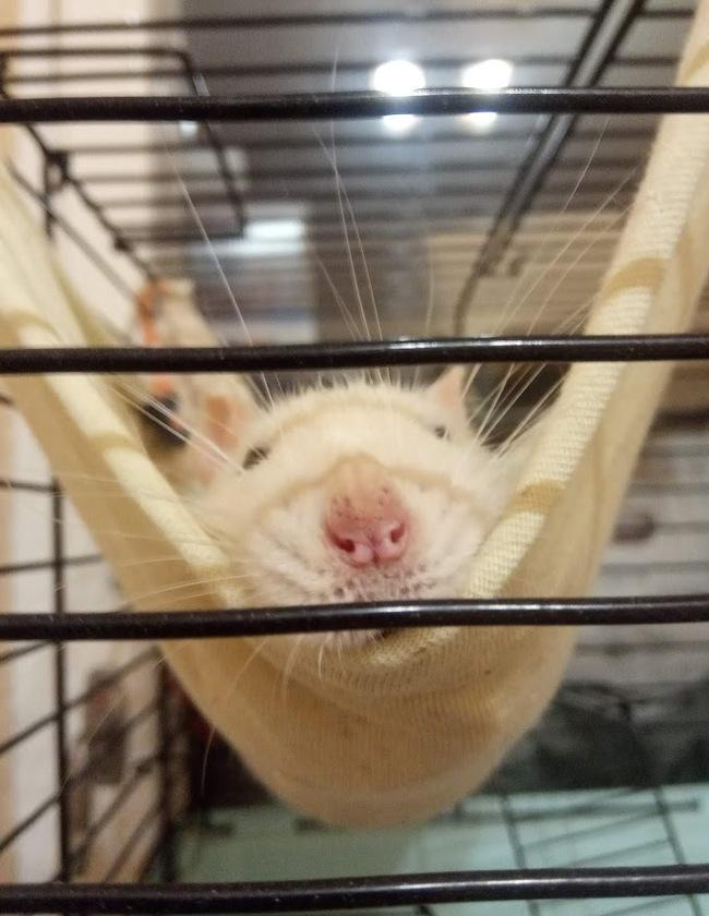 Дратути, я крыс, правда я классный?