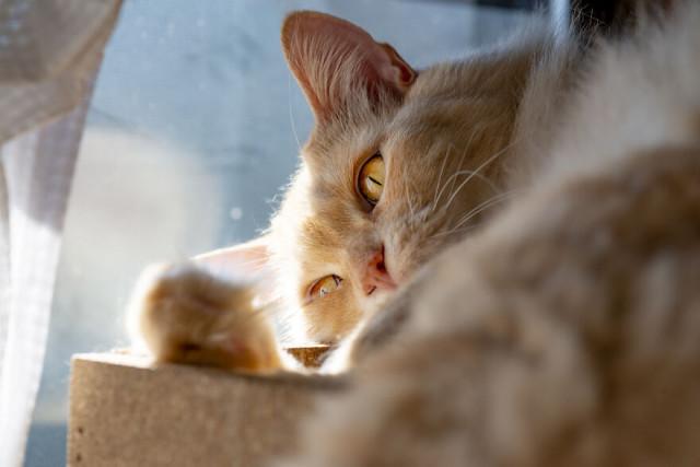 Жизнь не баловала этого кота, пока он не встретил СВОЕГО человека Кот, Пушистые, Рыжие, Было-Стало, Спасение животных, Япония, Длиннопост