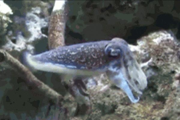 Каракатица: Запоминает обидчика и мстит всю жизнь. Как работает вендетта у моллюсков? Каракатица, Моллюск, Океан, Яндекс Дзен, Книга животных, Гифка, Длиннопост