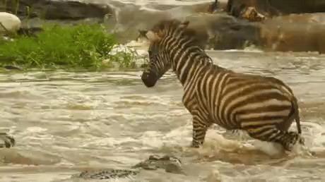 Бесстрашная зебра