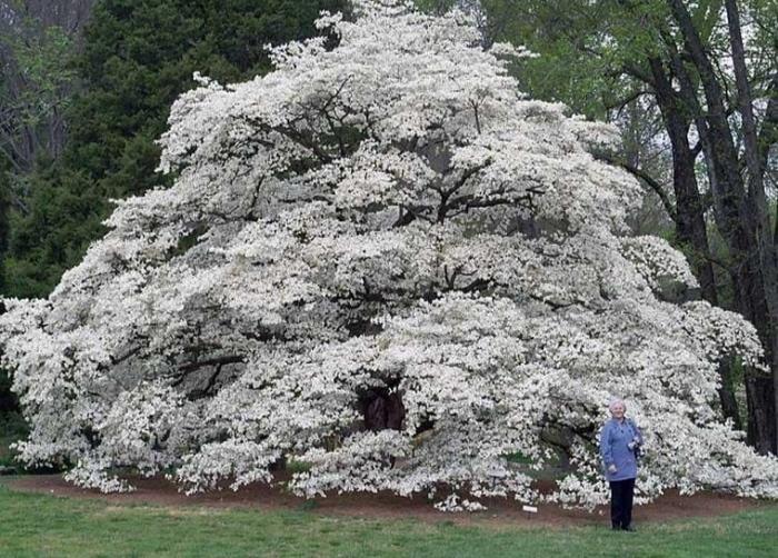 Дерево кизила которому 118 лет