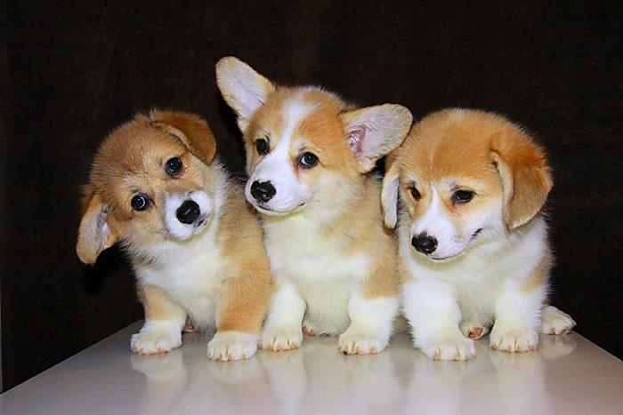 Трое коргей:):)