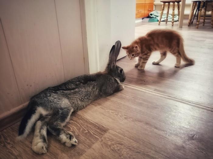 Знакомство. Мейн-кун и кролик