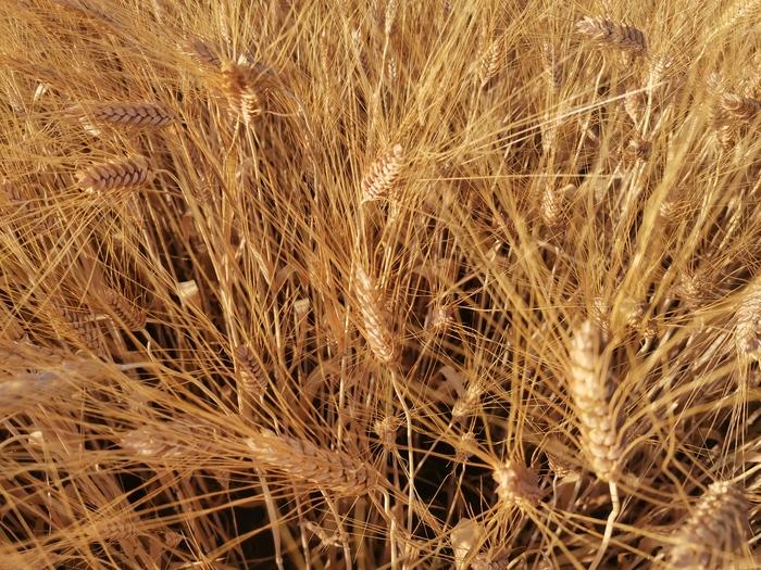 Уборка зерновых. Вот и в Белгороде началось Сельское хозяйство, Пшеница, Урожай, Комбайн, Трактор, Растениеводство, Прогрессивное растениеводство, Видео, Длиннопост