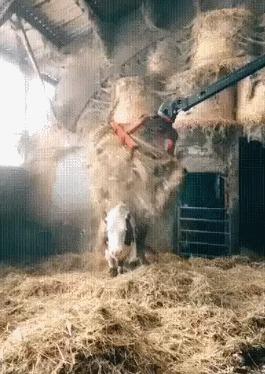 Корову осенило
