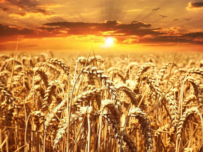 Неосторожность или умысел.У фермера подожгли поле с пшеницей Ферма, Сельское хозяйство, Урожай, Зерно, Неприятности, Проблема, Полиция, Видео, Негатив