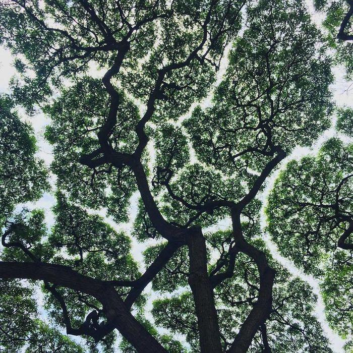 QuotЗастенчивыеquot деревья феномен, когда деревья не соприкасаются друг с другом