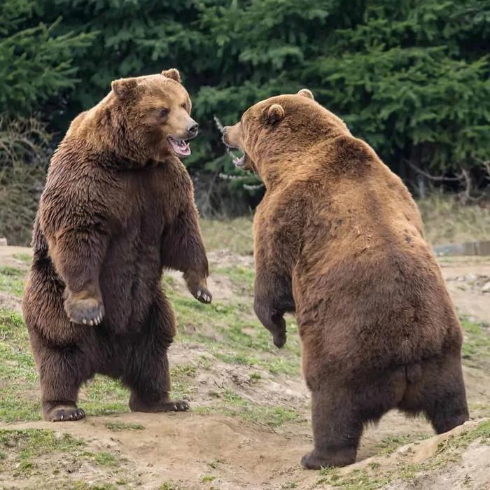 Кадьяк: Крупнейший подвид бурого медведя. Полтонны ярости и изоляция на далеком северном острове Медведи, Кадьяк, Дикие животные, Книга животных, Яндекс Дзен, Длиннопост