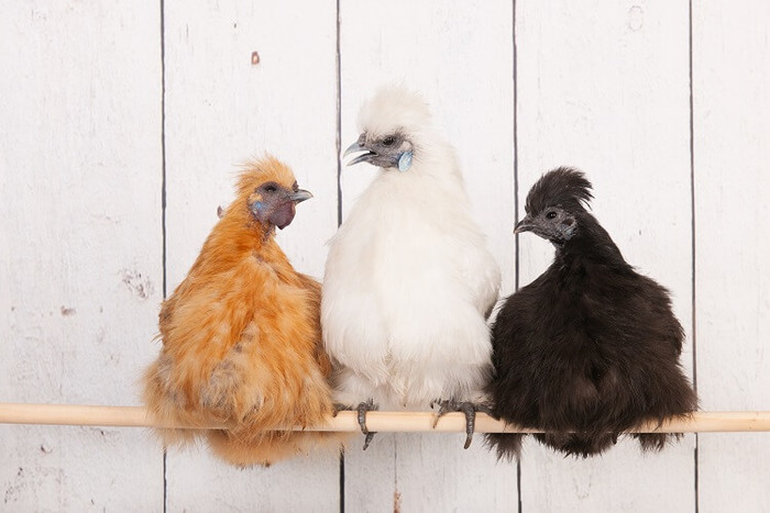 Порода куриц Силки (Silkie Chicken) - шелковая, нравится за необычный внешний вид и пушистые перья Сельское хозяйство, Курица, Китай, История, Курятина, Интересное, Забавное, Китайская медицина, Ферма, Деревня, Видео, Длиннопост