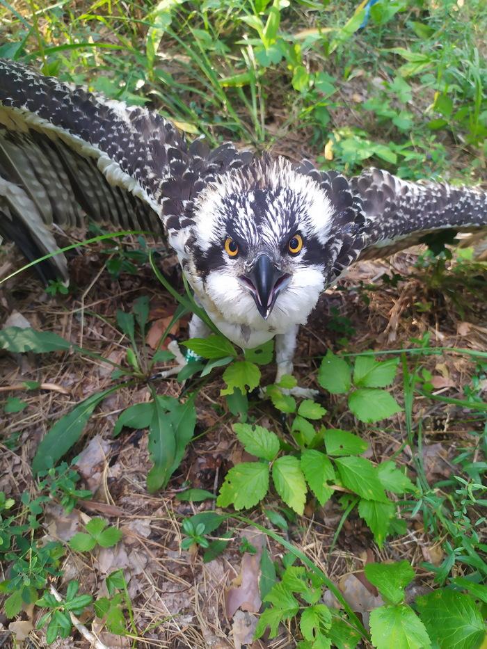 Орнитолог повесил gps-трекер на птицу и вот куда она полетела Орнитология, Птицы, Лес, Природа, Миграция, Животные, Наука, Исследования, Длиннопост, Скопа
